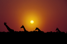 Photograph of Giraffes in the Morning Sun
